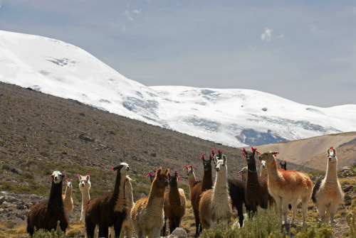 Llamas in Rio Blanco and Coropuna